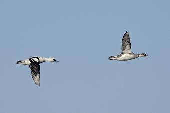Fugletur ved Gundsømagle Sø - hviiin og gak-gak i november!