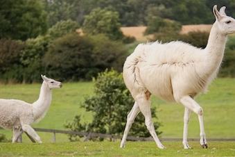 Søndagsture med lamaer 1,5 - 2,0 timer